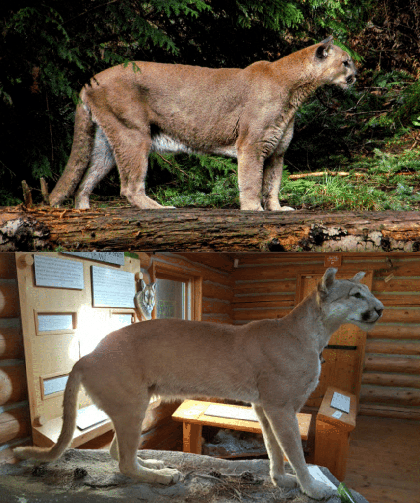 Two photographs, one of a live mountain lion standing, and the other of a taxidermied mountain lion skin over an ocelot armature, creating a strange hybrid effect.